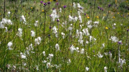Bild mit Tageslicht, Wiesengras, Wollgras, Schweiz, Vegetation, Grüne Farben, gelbe Blume, Alpenblumen