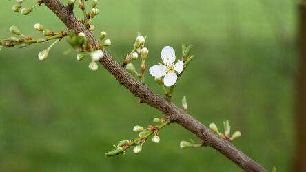 Bild mit Natur, Details, Fein, grüne Blätter, grüner Hintergrund, Blütenzweig