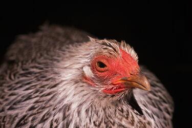 Bild mit Vögel, Tier, Huhn, Portrait, Henne, Tierbilder