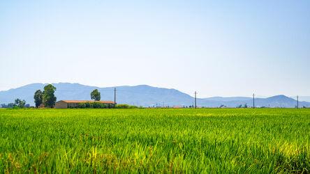 Reisfelder im Ebro Delta Spanien