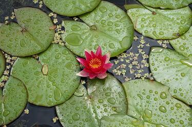 Bild mit Natur, Wasser, Blumen, Blätter, Wassertropfen, Teich, Blüten, Seerose, Wasserpflanzen, Wasserlilie