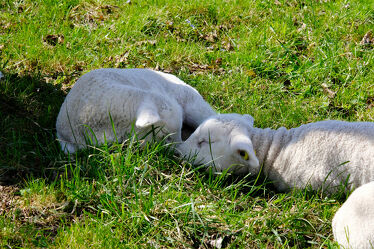 Bild mit Frühling, Gras, Schafe, Jungtiere