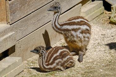 Bild mit Tiere, Vögel, Emu