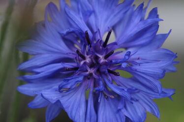 Bild mit Blau, Blume, Kornblume