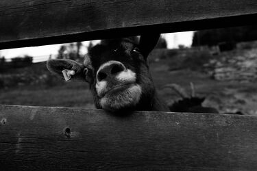 Bild mit Tiere, Ziegen, schwarz & weiss, monochrom, Hunger, Ziege, neugierig