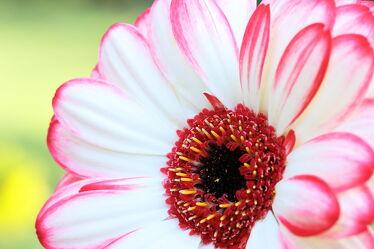 Bild mit Pflanzen, Blumen, Sonne, Makrofotografie, Gerbera, Fotografie, Details, Dekoration, wand, Bilderrahmen
