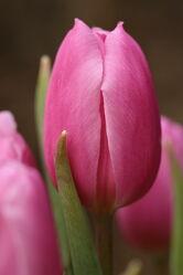Bild mit Blumen, Frühling, Makrofotografie, Tulpen, Natur Kunst Bilder, Florales Dekor, Details, Zartheit, frohe ostern, Geschenk