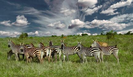 Bild mit Natur, Afrika, Wildtiere, Wildlife, Zebras, safari, Kenia