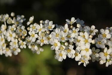 Bild mit Blumen, weiss, nahaufnahme