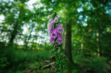 Bild mit Blume, Pflanze, fingerhut, Bokeh Effekt