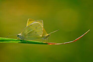 Bild mit Gelb, Tiere, Grün, Insekten, Schmetterlinge, Schmetterling, Paarung, Symmetrie, graashalm