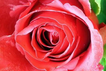 Bild mit Farben, Gegenstände, Natur, Pflanzen, Blumen, Rosa, Rot, Rosen, Kamelien, Makrofotografie, Rose, Roses, Makro Rose, rote Rose, Rosenblüte, Rosengewächse