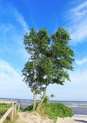 Birke am Meer