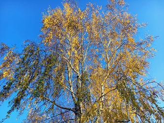 Bild mit Himmel,Bäume,Birken,Wald,Baumkrone,Baum,Birke,Betula,Hänge Birke,Weiß Birke
