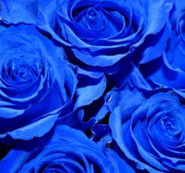 Blauer Rosenzauber