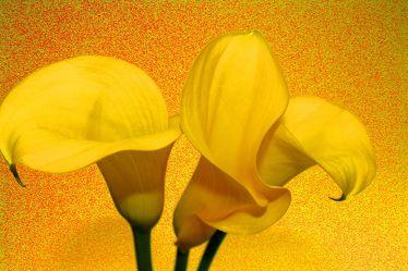Bild mit Farben,Gelb,Natur,Grün,Pflanzen,Blumen,Blume,calla lily,Calla,Calla,Calla,Zantedeschien,Callas,Callas,Kalla,kalós,καλός,Zantedeschia,Calla lillies,gelbe Calla,Pflanze,gelber Hintergrund,Lilien
