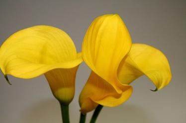 Bild mit Farben,Gelb,Natur,Pflanzen,Blumen,Gegenstände,Blume,calla lily,Calla,Zantedeschien,Callas,Kalla,Calla-Lilien,kalós,καλός,Zantedeschia,Calla lillies,Grün,gelbe Calla,grauer Hintergrund