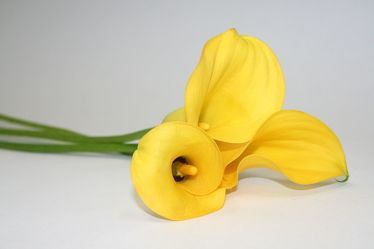 Bild mit Farben,Gelb,Natur,Pflanzen,Blumen,Blume,calla lily,Calla,Zantedeschien,Callas,Kalla,Calla-Lilien,kalós,καλός,Zantedeschia,Calla lillies,Grün,gelbe Calla