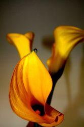 Bild mit Farben,Orange,Gelb,Natur,Grün,Pflanzen,Blumen,Blume,calla lily,Calla,Zantedeschien,Callas,Kalla,Calla-Lilien,kalós,καλός,Zantedeschia,Calla lillies,gelbe Calla