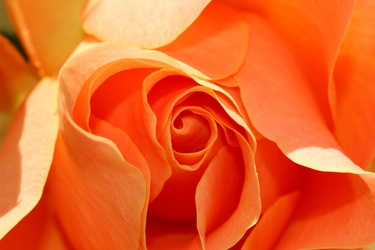 Bild mit Natur, Pflanzen, Früchte, Blumen, Blumen, Pfirsiche, Rosa, Rot, Rosen, Blume, Pflanze, Rose, Roses, Rosenblüte, Flower, Flowers, orange Rose, Orange Rosen bringen Glück, Symbol Glück