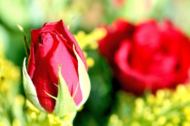 Bild mit Farben, Gelb, Natur, Grün, Pflanzen, Jahreszeiten, Blumen, Rosa, Frühling, Rot, Rot, Rosen, Blau, Rose, Roses, rote Rose, Gegenlicht, Flower, Flowers, red Rose, osaceae, Blume, Blumen, Pflanze, Blumenstrauß, Rosenstrauß