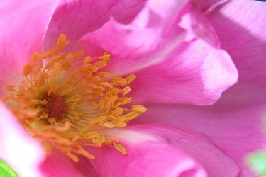 Bild mit Farben,Natur,Pflanzen,Blumen,Rosa,Rosen,Kamelien,Blume,Pflanze,kamelie