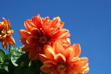 Bild mit Farben, Orange, Natur, Pflanzen, Himmel, Früchte, Blumen, Pfirsiche, Korbblütler, Dahlien