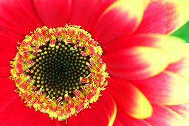 Bild mit Farben,Gelb,Natur,Pflanzen,Blumen,Korbblütler,Gerberas