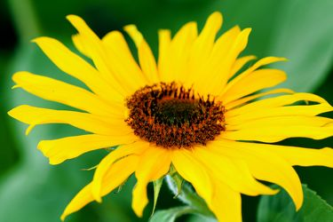 Bild mit Farben,Gelb,Natur,Pflanzen,Blumen,Korbblütler,Sonnenblumen