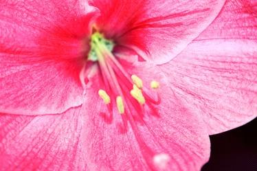 Bild mit Farben, Natur, Pflanzen, Blumen, Rosa, Rot, Hibiskuse
