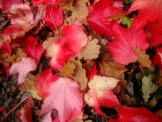 Bild mit Farben, Natur, Pflanzen, Jahreszeiten, Blumen, Rosa, Herbst, Struktur, Blätter, Blatt, Blattstruktur, Blätterstruktur, Laubblatt, Laubblätter