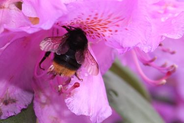 Bild mit Farben, Tiere, Natur, Pflanzen, Jahreszeiten, Blumen, Rosa, Lila, Frühling, Insekten, Hautflügler, Bienen, Hummeln, Rhododendren, Azaleen