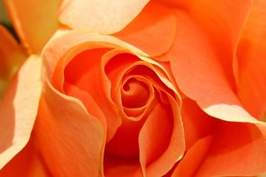 Bild mit Farben, Orange, Gelb, Natur, Pflanzen, Früchte, Blumen, Pfirsiche, Rosa, Rot, Rosen