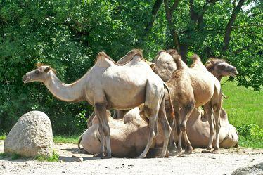 Kamele 122