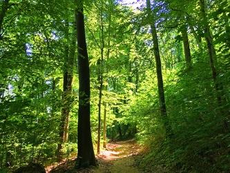 Bild mit Natur,Pflanzen,Bäume,Landschaften,Wälder,Farben,Grün,Wald,Lichtung,Waldlichtung,Weg,Waldweg,Baum