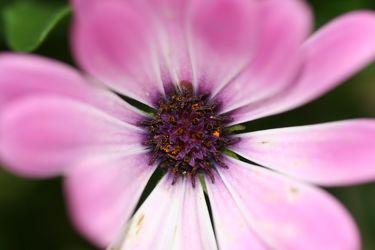 Bild mit Farben, Natur, Pflanzen, Jahreszeiten, Blumen, Rosa, Lila, Violett, Frühling, Korbblütler