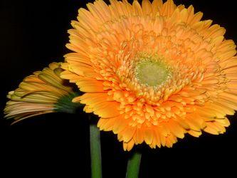 Bild mit Farben, Orange, Gelb, Natur, Pflanzen, Blumen, Korbblütler, Gerberas, Blume, Pflanze, Gerbera