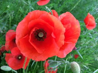 Bild mit Blumen,Mohn,Blume,Pflanze,Mohnblume,Poppy,Poppies,Wiese,Feld,Feldblume,Feldblumen,Mohnblumen auf der grünen Wiese