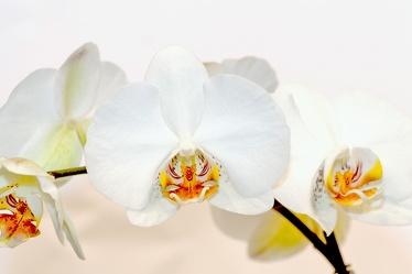 Bild mit Farben,Weiß,Natur,Pflanzen,Blumen,Orchideen,Jahreszeiten,Frühling,Orchidee,Orchid,Orchids,Orchideengewächse,Blume,Pflanze,Orchidaceae,Tiger-Orchidee,Grammatophyllum speciosum,Gelb