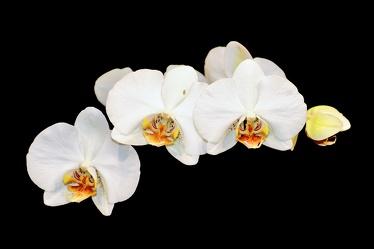 Bild mit Natur,Pflanzen,Blumen,Orchideen,Farben,Weiß,Orchidee,Orchid,Orchids,Orchideengewächse,Blume,Pflanze,Orchidaceae,Tiger-Orchidee,Grammatophyllum speciosum,Orchideen vor schwarzen Hintergrund