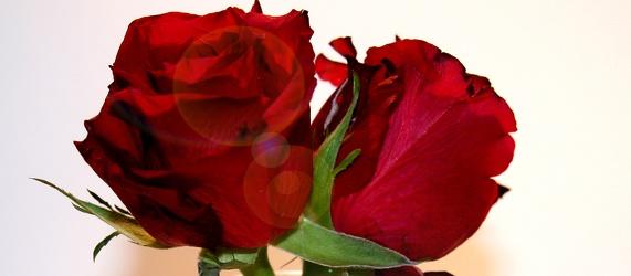 Bild mit Natur, Pflanzen, Blumen, Blumen, Rosen, Blume, Pflanze, Rose, Roses, rote Rose, Rosenblüte, Flower, Flowers, osaceae, zwei rote Rosen