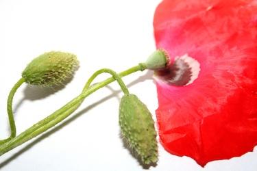 Bild mit Natur,Pflanzen,Blumen,Weiß,Rot,Mohn,Pflanze,Mohnblume,Mohneblumen,Poppy,Poppies,Mohnpflanze,Klatschmohn,Klatschrose,Papaver,Mohngewächse,Papaveraceae
