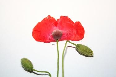 Bild mit Farben,Rot,Natur,Pflanzen,Blumen,Mohn,Mohnblume,Mohneblumen,Poppy,Poppies,Weiß,Pflanze,Mohnpflanze,Klatschmohn,Klatschrose,Papaver,Mohngewächse,Papaveraceae