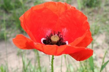 Bild mit Farben,Natur,Pflanzen,Blumen,Weiß,Rot,Mohn,Pflanze,Mohnblume,Mohneblumen,Poppy,Poppies,Mohnpflanze,Klatschmohn,Klatschrose,Papaver,Mohngewächse,Papaveraceae