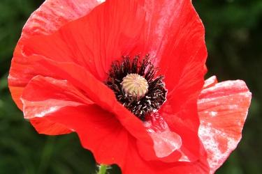 Bild mit Farben,Natur,Pflanzen,Blumen,Weiß,Rot,Mohn,Pflanze,Mohnblume,Mohneblumen,Poppy,Poppies,Mohnpflanze,Klatschmohn,Klatschrose,Papaver,Mohngewächse,Papaveraceae,Mohnblüte