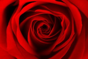 red dreaming rose