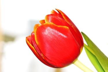 Bild mit Farben,Rot,Natur,Pflanzen,Blumen,Orange,Tulpe,Tulpen,rote Tulpe,rote Tulpen,red tulip,red tulips,Tulips,Tulip,red,Tulipa,Blume, Blumen, Pflanze,Flower,Flowers