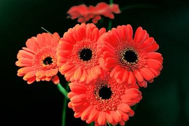 Bild mit Natur,Pflanzen,Blumen,Korbblütler,Gerberas,Farben,Rot,Orange,Gegenstände,Gerbera,Blume,Pflanze,Flower,Flowers,Schnittblume,Blumenstrauß,rote Gerbera,rote Gerberas