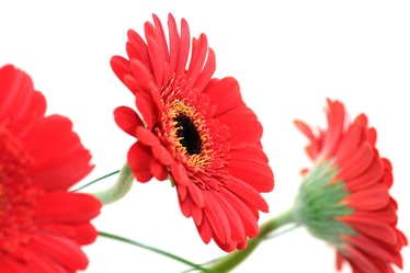 Bild mit Natur,Pflanzen,Blumen,Korbblütler,Gerberas,Farben,Rot,Gegenstände,Gerbera,Blume,Pflanze,Flower,Flowers,Schnittblume,rote Gerbera,rote Gerberas