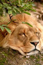 Schlafender Löwe 157